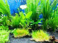 Các loại cây thủy sinh không cần đất nền dễ trồng nhất